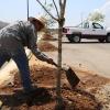 Se plantan 150 Fresnos
